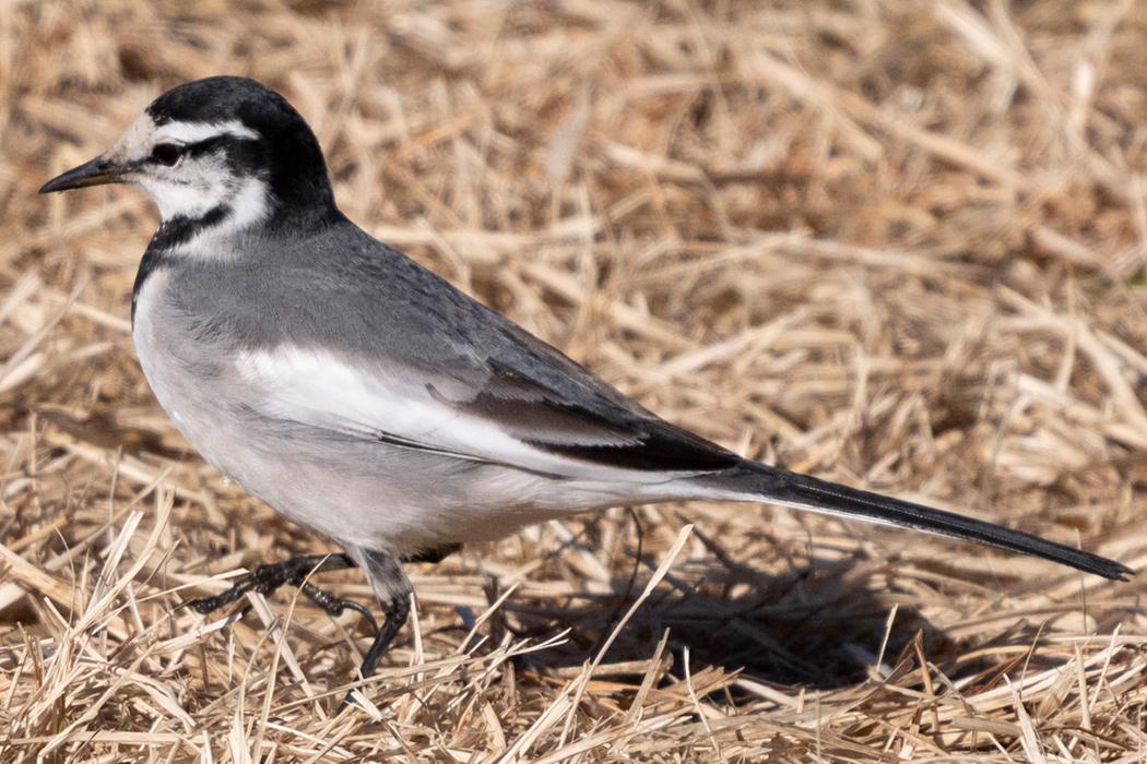 鳴き声 ハクセキレイ ハクセキレイはどんな野鳥なの?特徴 鳴き声など